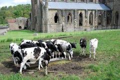 Ruinen von Tintern-Abtei mit Kühen - Dorf von Tintern - Wales Lizenzfreie Stockbilder