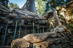 Ruines antiques et racines d'arbre, merci temple de Prohm, Angkor, Cambodge Photo libre de droits