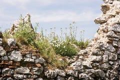 Ruiniertes Plavecky-Schloss, Slowakei, Abschluss oben der Wand mit Blumen Stockfotografie