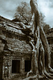 Ruins. A giant tree embraces the ancient ruins of Angkor Wat in Cambodia Royalty Free Stock Image