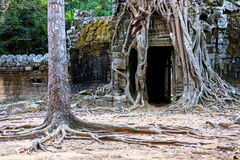 Ruins of ancient buddhist khmer temple. Ancient stone door and tree roots in ruins of buddhist khmer temple near Siem Reap, Cambodia Stock Image