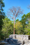 Ruins in Calakmul. Platform of Mayan ruins with a tall leafless tree in Calakmul, Mexico stock photos