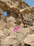 Ruins and Hibiscus. Hibiscus flower among the ruins of Baalbeck in Lebanon Stock Photography