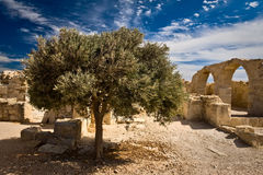 The ruins of Kourion. Cyprus. The olive tree and ruins of Kourion. Cyprus Stock Image