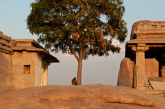 Ruins of an old hindu temple. View on a old ruins and a tree in Hampi Stock Images