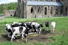 Wales - Ruins of Tintern Abbey with cows - village of Tintern Royalty Free Stock Images