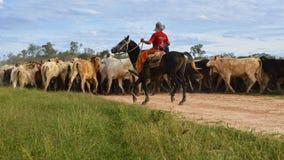Ruiter die vee verzamelt Royalty-vrije Stock Afbeelding
