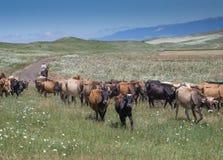 Ruiter en koeien in Georgië Royalty-vrije Stock Foto's