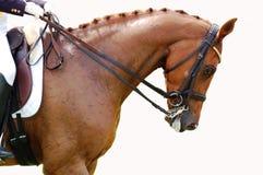 Ruiter - het Paard van de Dressuur Royalty-vrije Stock Foto's