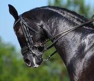 Ruiter - portret van dressuur zwart paard Stock Afbeeldingen