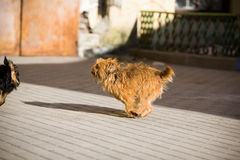 Ruivo, cão peludo que corre na rua para o cão preto imagem de stock royalty free