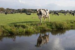 Rujir manchado preto da vaca, reflexão em uma vala, em uma paisagem holandesa típica da terra e da água lisas imagens de stock royalty free