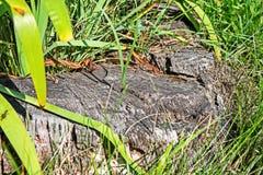 Rujnujący fiszorek przerastający z trawą zdjęcie royalty free