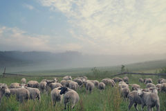 Rular landscape and eating sheeps Stock Photo