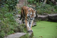Graceful tiger in its environment. The ruler, Lord, master, king of the jungle, taiga, striped cat, striped predator royalty free stock photo