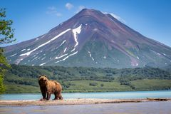 Ruling the landscape, brown bears of Kamchatka royalty free stock image