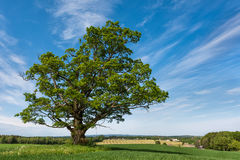 Ruling the landscape. Spring in Norway. Estimated age of the old oak is 300-400 years. The diameter of the crown is 20 m and the circumference of the trunk: 4.6 Stock Photo