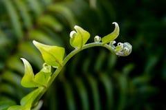 Rulla ut ormbunken i dess livsmiljö royaltyfri bild