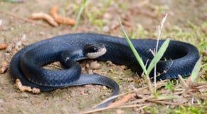 Rullad ihop orm för svart racerbil Royaltyfria Bilder