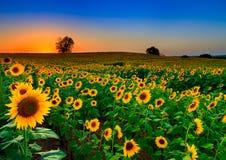 Rullande fält av solrosor Arkivbild