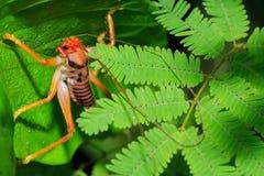 Rullande gräshoppor för blad Royaltyfri Fotografi
