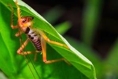 Rullande gräshoppor för blad Fotografering för Bildbyråer