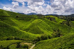 Rullande gröna kullar av tekolonier Arkivbild