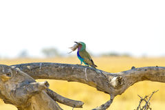 Rullo del lillà-breasted che mangia il topo di campo Fotografia Stock