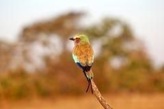 Rullo del lillà-breasted nel Okavango fotografie stock
