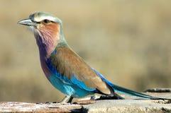Rullo del lillà-breasted nel parco di Kruger Fotografia Stock