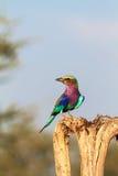 Rullo del lillà-breasted sull'albero Tarangire, Tanzania immagini stock libere da diritti