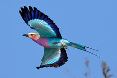 Rullo del lillà-breasted in volo fotografia stock libera da diritti