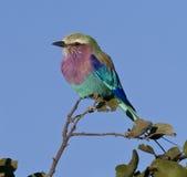 Rullo lilla di Breasted - Botswana fotografie stock