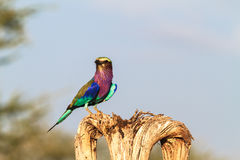 Rullo sull'albero asciutto Tarangire, Tanzania, Africa immagini stock libere da diritti