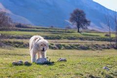 Rumänischer Schäferhund stockfoto