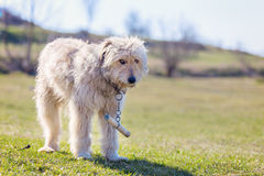 Rumänischer Schäferhund stockfotografie