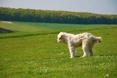 Rumänischer Schäferhund-Hund Lizenzfreie Stockfotos