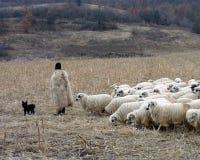 Rumänsk herde med hans flock royaltyfri bild