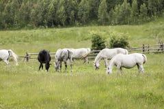 Rumänska hästar Royaltyfri Bild