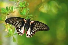 rumanovia papilio πεταλούδων Στοκ Φωτογραφίες