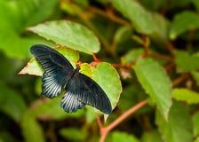 Rumanzovia de Papilio Foto de archivo
