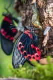 Rumanzovia de Papilio, mormon mormon ou rouge de l'?carlate, papillon photographie stock