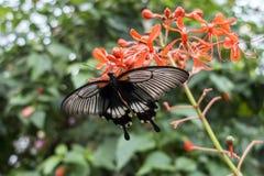 Rumanzovia Swallowtail Papilio Rumanzovia female Scarlet Mormon portrait Royalty Free Stock Images
