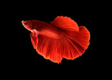 Rumble Fish Betta. Betta fish color variation is based on the color pigmentation in different types of cells. The Betta has had a long history in Thailand and is Royalty Free Stock Photos