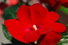 Rumblommor - ljust röd balsam royaltyfria foton