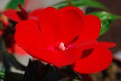 Rumblommor - ljust röd balsam arkivbild