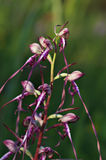 Rumelicum de sous-espèce de caprinum de Himantoglossum Image libre de droits