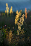 Rumex acetosa, also known as common sorrel at sunrise light. Stock Image
