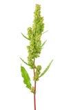 Rumex confertus plant Stock Image
