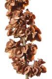 Rumex seeds. Macro closep of ripe seeds on flower stalk of curly dock Rumex crispus Stock Photos